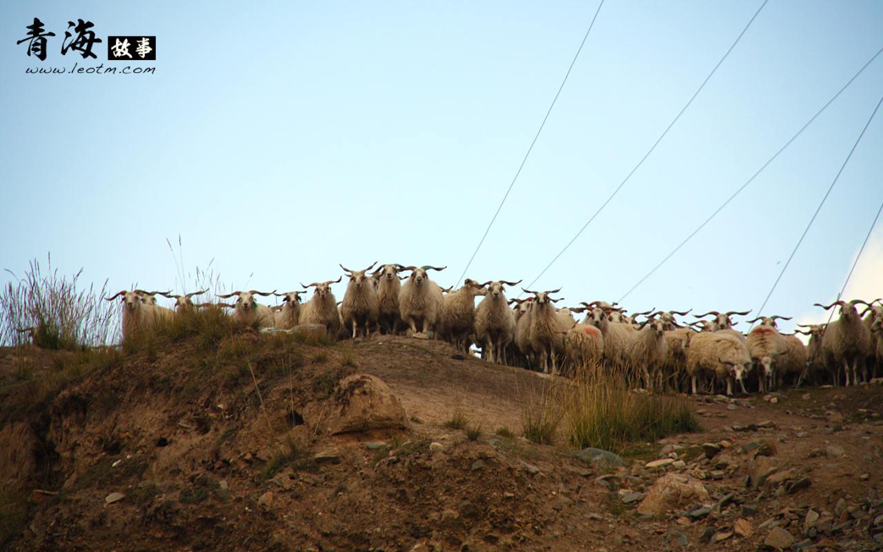 """返回的时候正好碰见一群羊要下来,于是双方""""对峙""""了一会,看到我们在各种拍,头羊带着他们转身离开。"""
