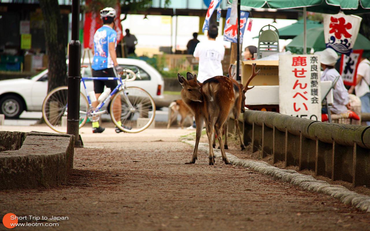 鹿仙贝150日元一包,大概有8张饼都样子。喂的时候要小心,鹿会过来争夺,有可能会袭击你。不过也有好玩的,不知道是不是日本人喜欢鞠躬,这里的鹿也会对着你点头鞠躬要吃的,哈哈~
