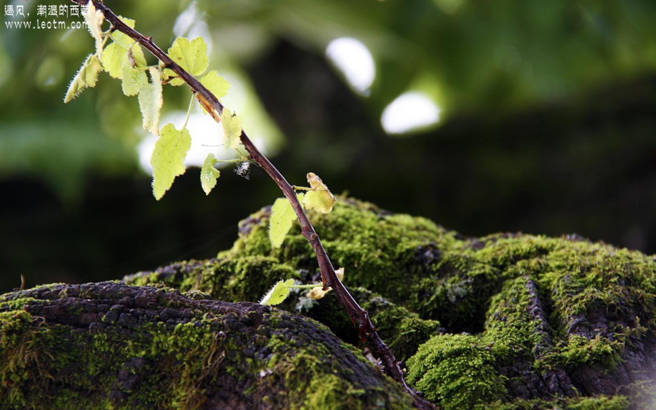 桑树上好多地方都长了青苔,可见此处雨水之充沛啊。