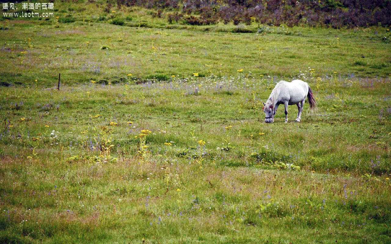 草甸、野花、白马