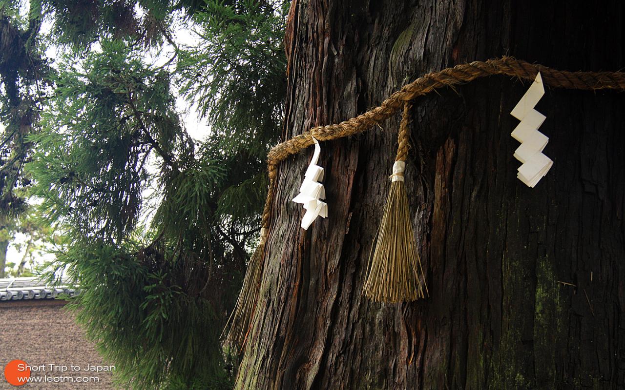 古杉树上的灵符,让我想起来犬夜叉……