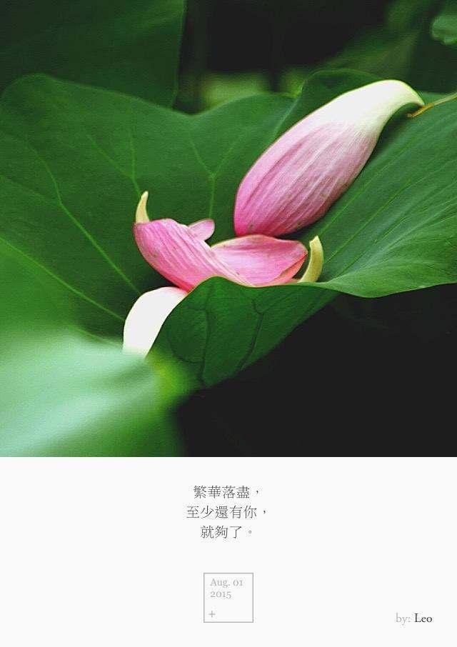 荷花 落叶