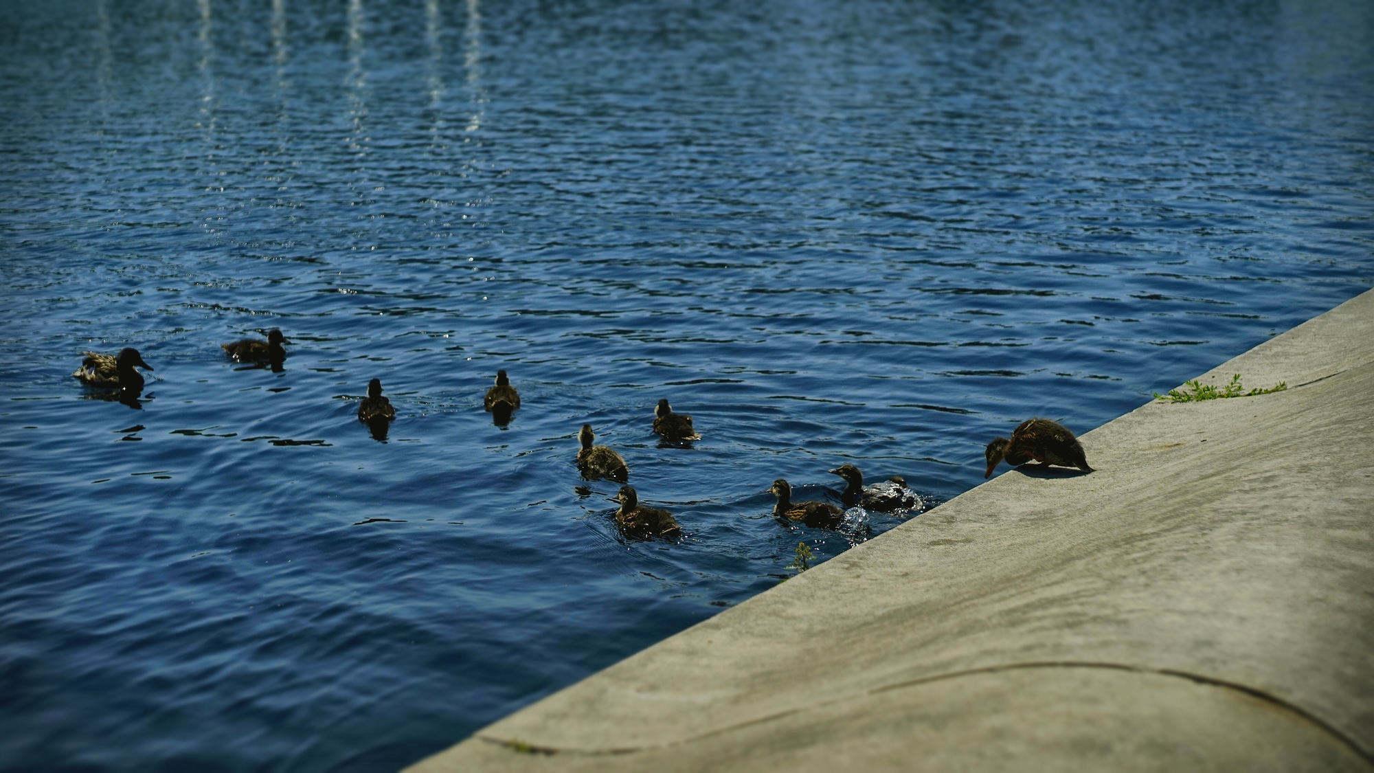 国会前镜湖里的鸭子